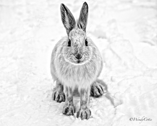 Snowshoe Hare, Ottawa, ON
