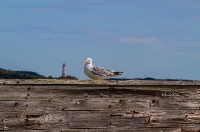 img_4880_herringgulllb_lighthousebehing