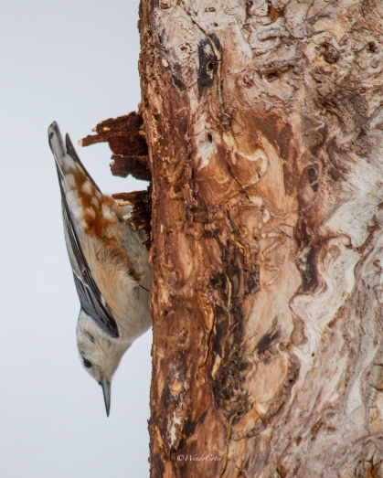 img_4976_nuthatchcropped