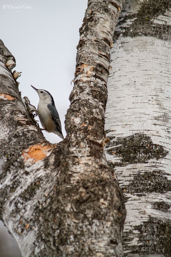 img_4982_nuthatchbirchtree