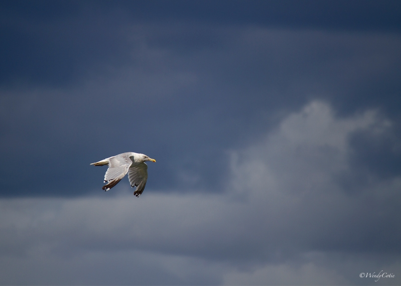 img_5194_herringgullflight