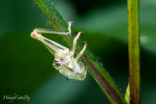 img_5214_grasshopperjustemerged