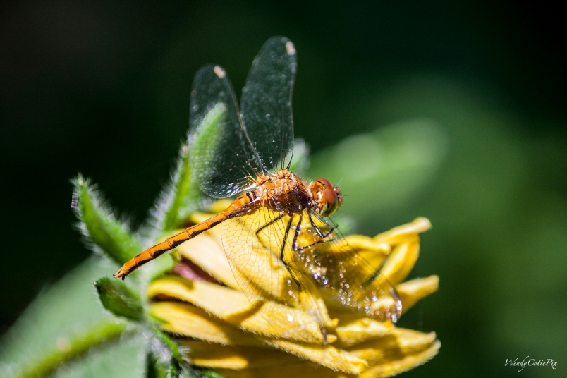 img_5346_dragonflymeadowhawkbackview