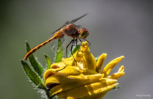 IMG_5354_dragonflymeadowhawk