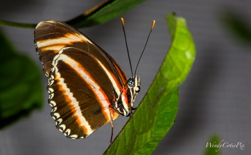 img_5443_brownorangewhitestripedbutterfly