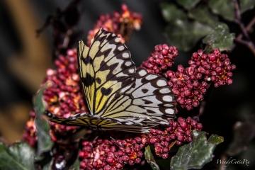 img_5456_yellowstripesbutterfly