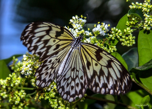 img_5522_yellowwhitestripedbutterfly