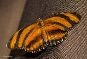 img_5529_orangetigerbutterfly