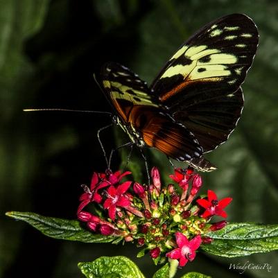 img_5586_wowyelloworangeblackbluebutterfly