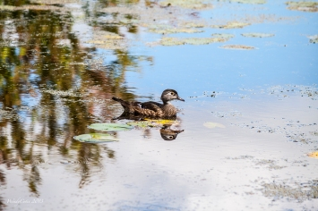 img_5816_woodduckmalejuvenile