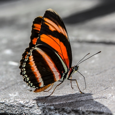 img_5828_tigerstripedbutterflyoncement
