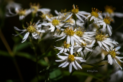 Asters, low growing as all plants and trees in Newfoundland