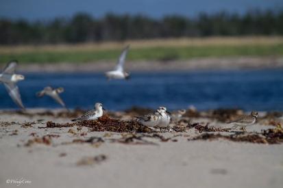 img_6062_shorebirdsplover