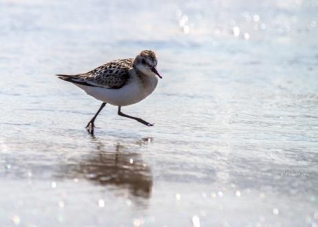 img_6072_shorebird