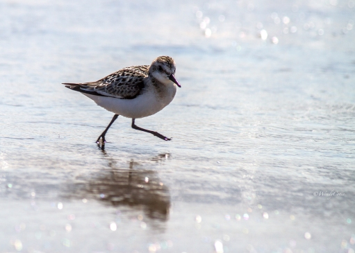 img_6072_shorebird