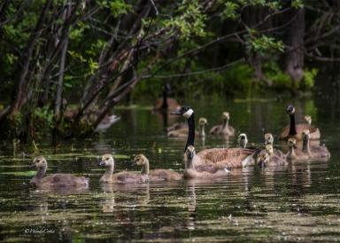 img_6152_goosefamily