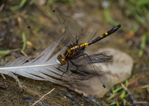 IMG_6160_Dragonfly
