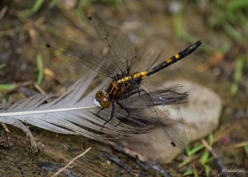 IMG_6160_Dragonfly