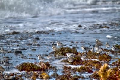Codroy Valley shorebirds
