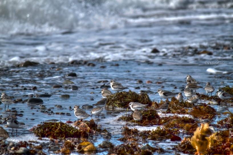 Shorebirds at Codroy Valley Provincial Park Beach