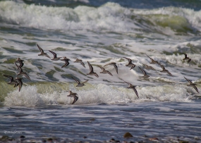 img_6642_shorebirds