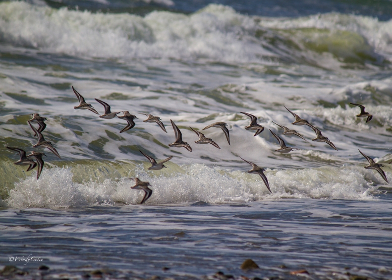 img_6642_shorebirds