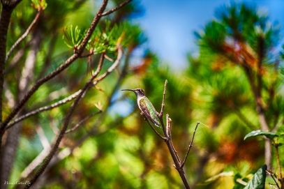 img_6658_fullpichummingbird