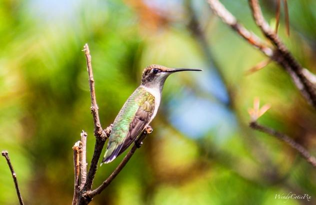 img_6658_hummingbird_winterisforthebirdscontest