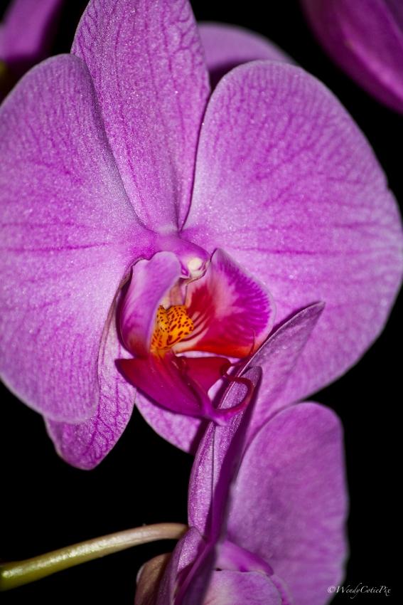 img_6695_orchidupclose