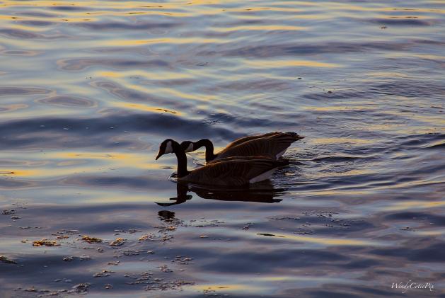 img_6710_gooselovebirds