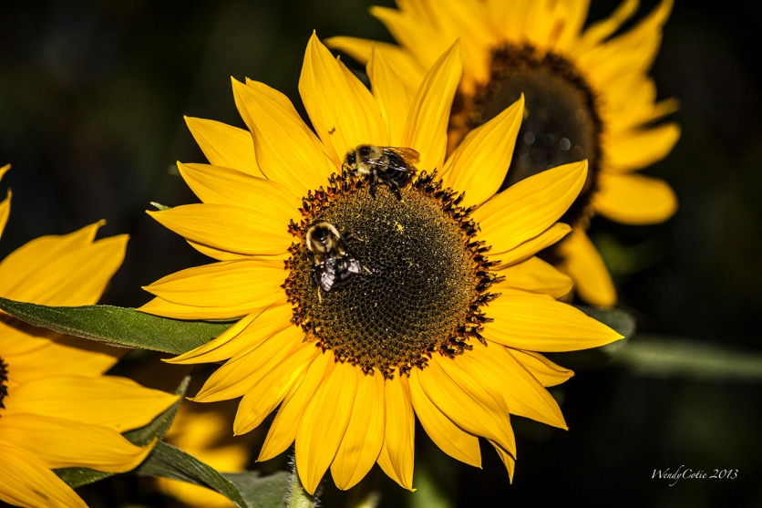 img_6880_sunflowerbees