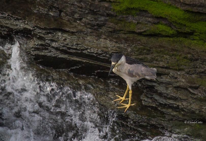 img_6946_black-crowned-night-heron