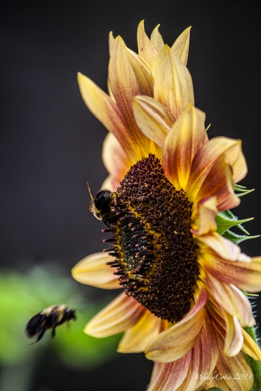 img_7084_sunflowerbees