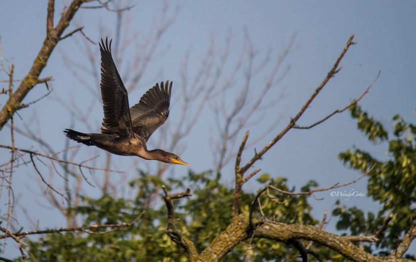 img_7110_blackcormorantflight