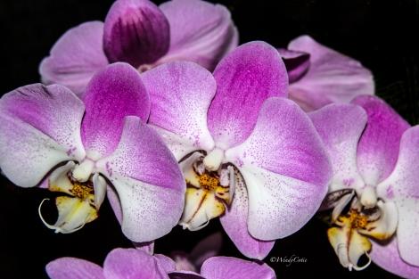 img_7189_closeupspeckledpinkorchids