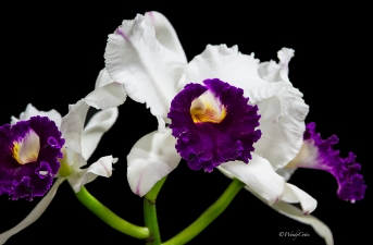 img_7205_whitepurpleorchid
