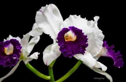 img_7205_whitepurpleorchid