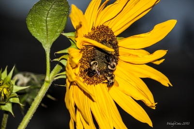 img_7231_sunflowerbees