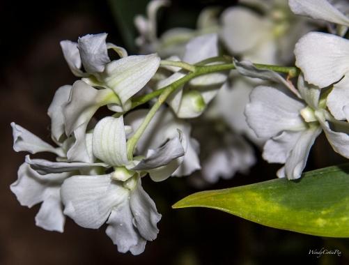 img_7261_whitetinycascadeorchid
