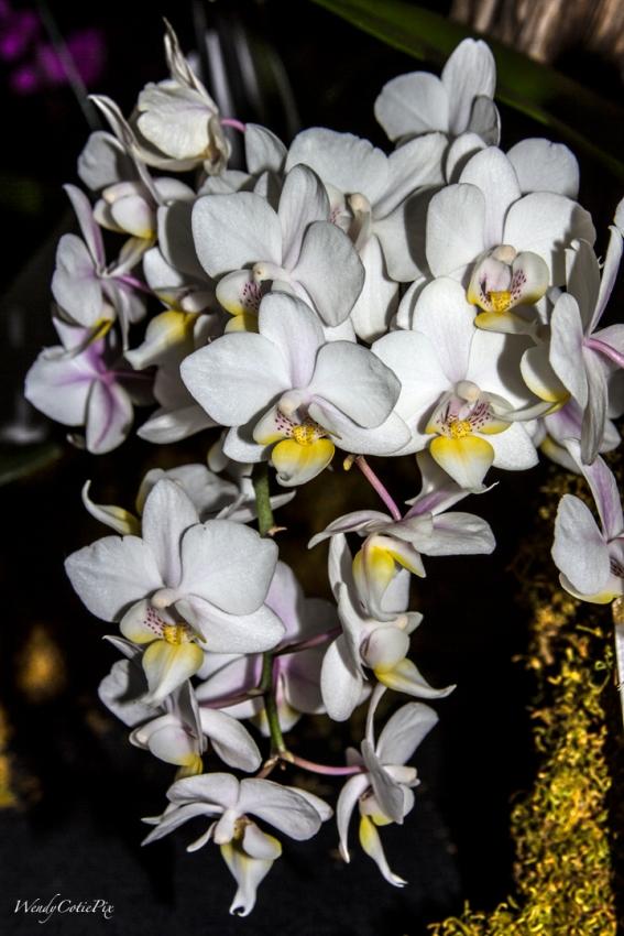 img_7318_whitecascadedelicateorchids