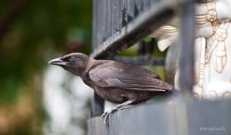 img_7511_blackbird