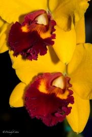 img_7758_brightyellowburgundycloseuporchid