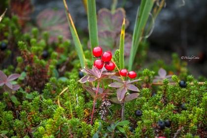 IMG_7794_NL_Plant_berryUnknown_LR