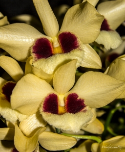 img_7799yellowwwburgundyorchidsfurry