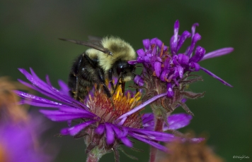 New England Aster (Aster spp.?) and Bumblebee (Bombus spp.)