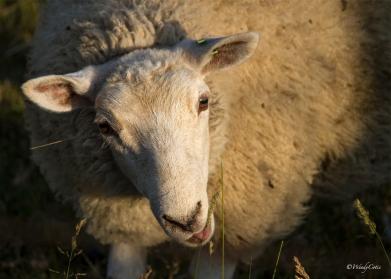 img_7880_sheep7x5