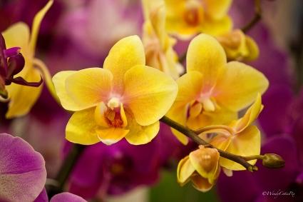 img_7885_yelloworchid