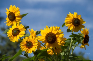 img_8007_sunflowersbeezzzz