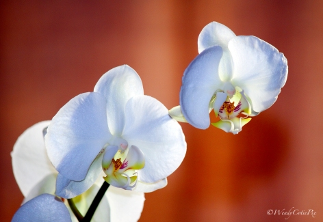 img_8341_orchid