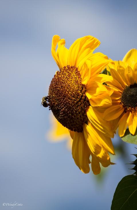 img_8486_sunflowerbee